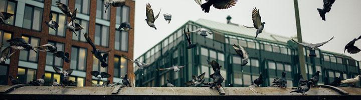 Las palomas, un peligro creciente para la salud en las ciudades