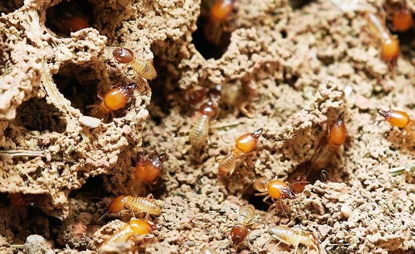 Termitas, un gran problema en muchos municipios por los daños que causan sobre el patrimonio